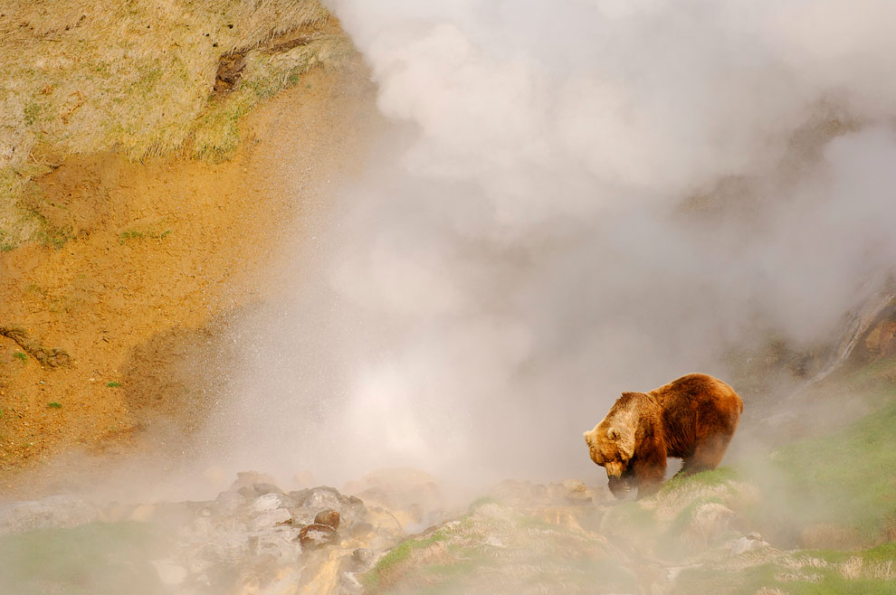 фото, медведи, гризли