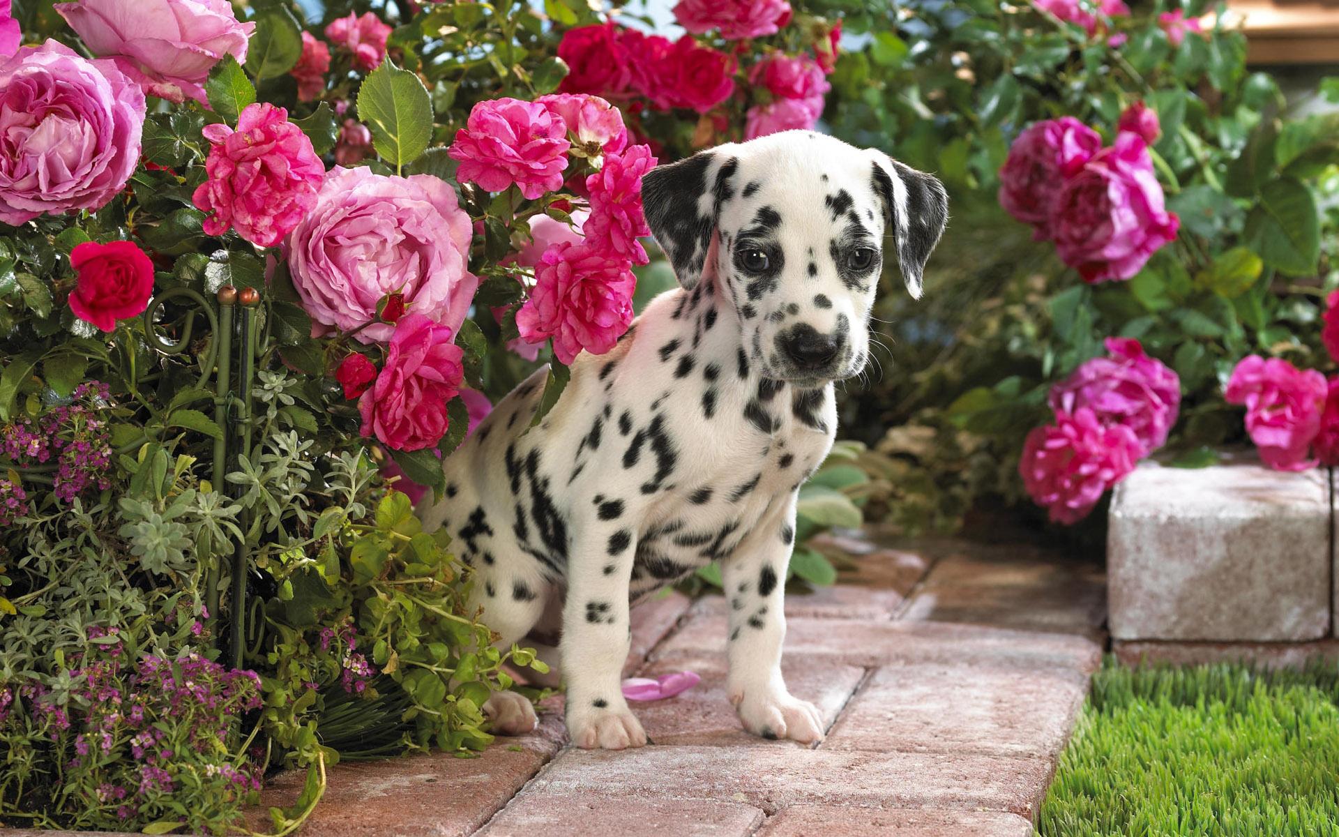 фото, красивые картинки, далматин, щенок