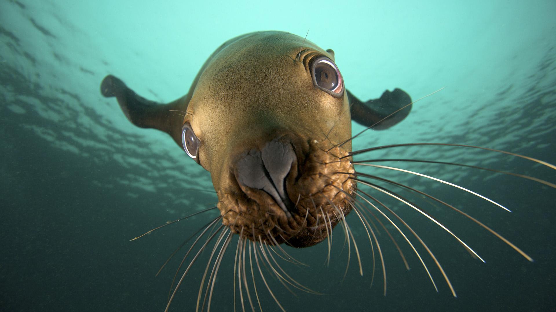 фото, морской лев
