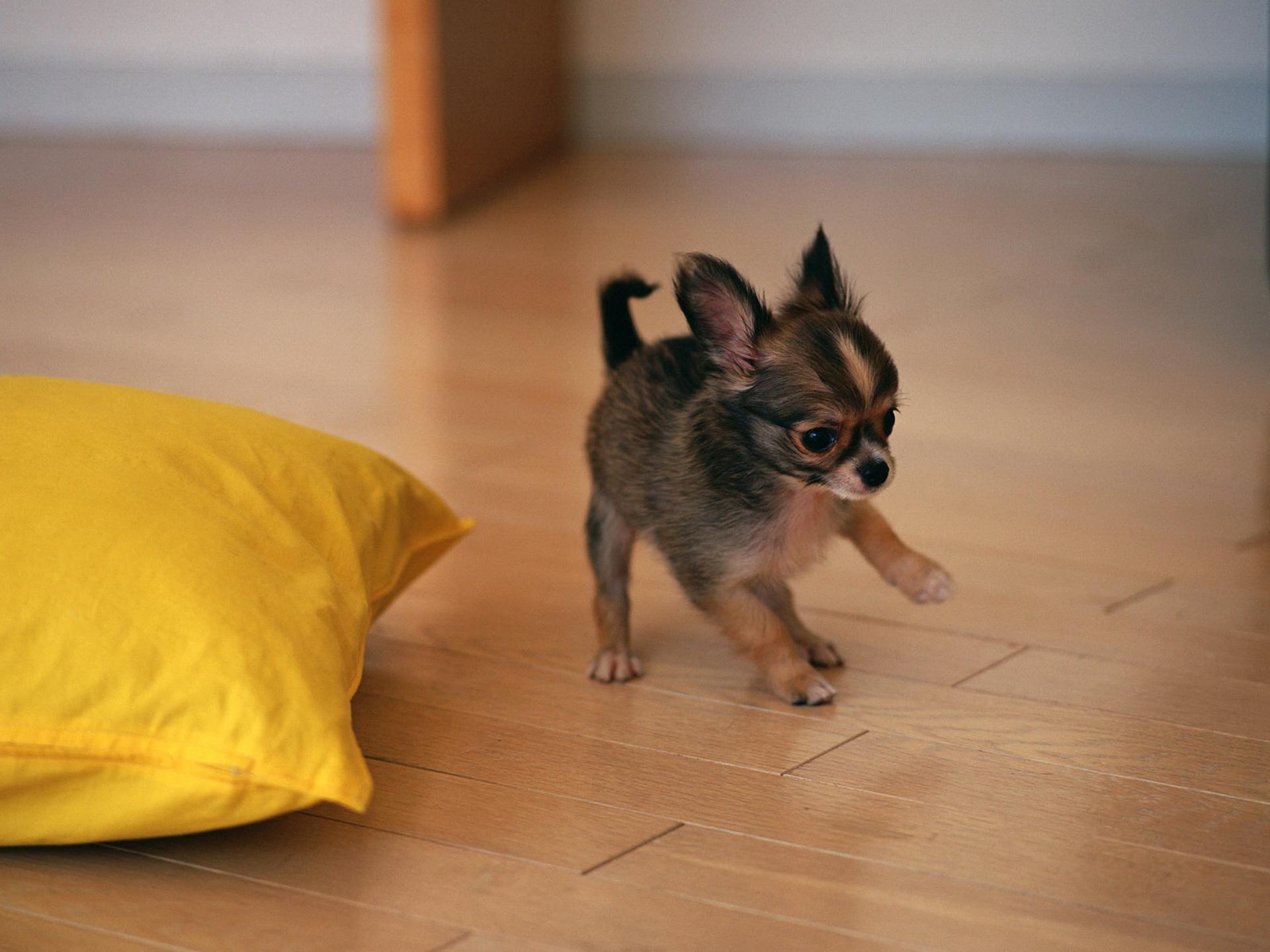 фото, собакен, русский той-терьер, щенок