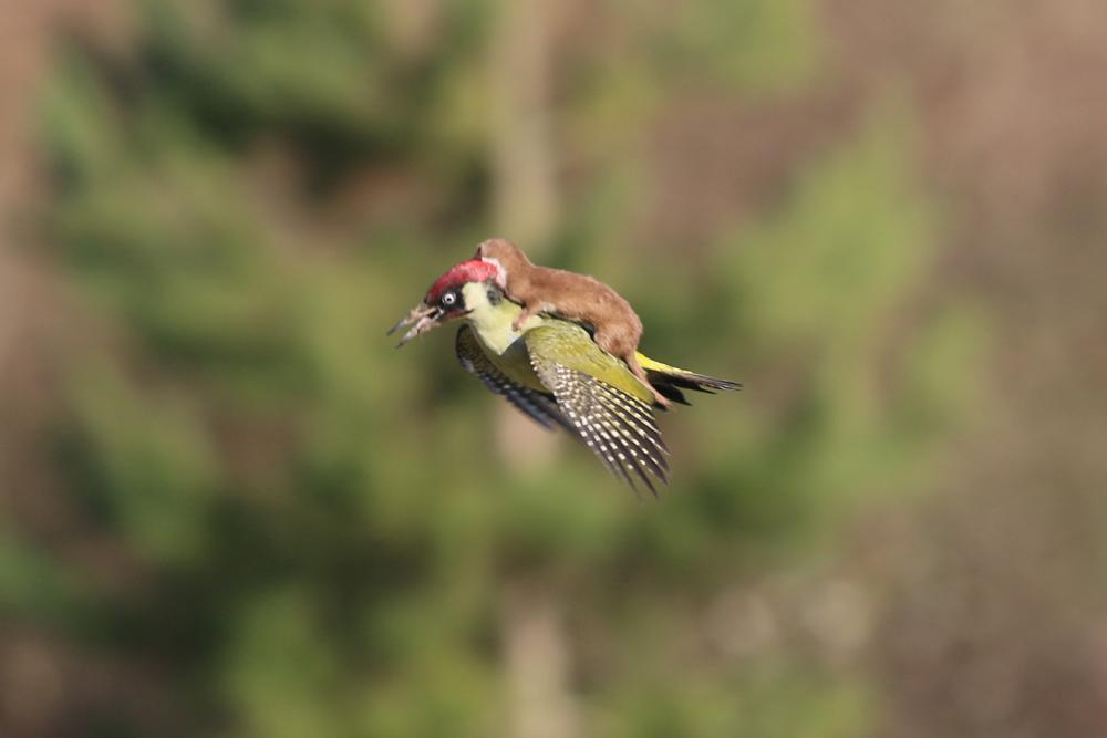фото, горностай, птица